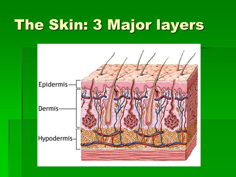 The Skin: 3 Major layers