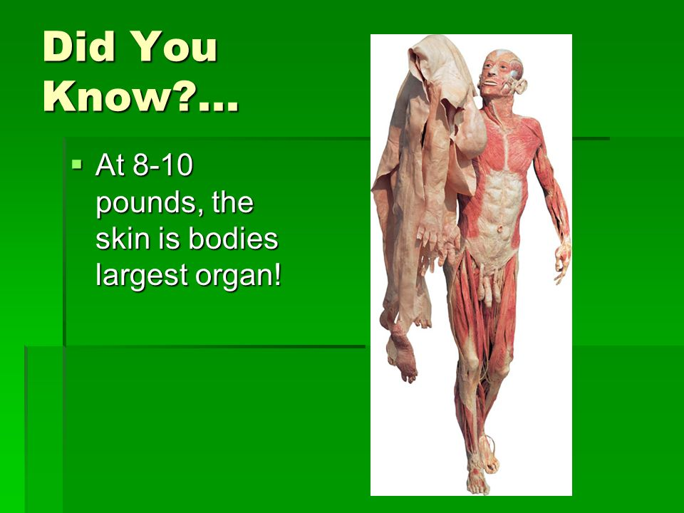 Did You Know ... At 8-10 pounds, the skin is bodies largest organ!