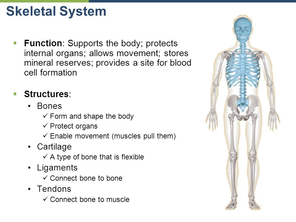 Intro to Human Anatomy Organs & Organ Systems - ppt download