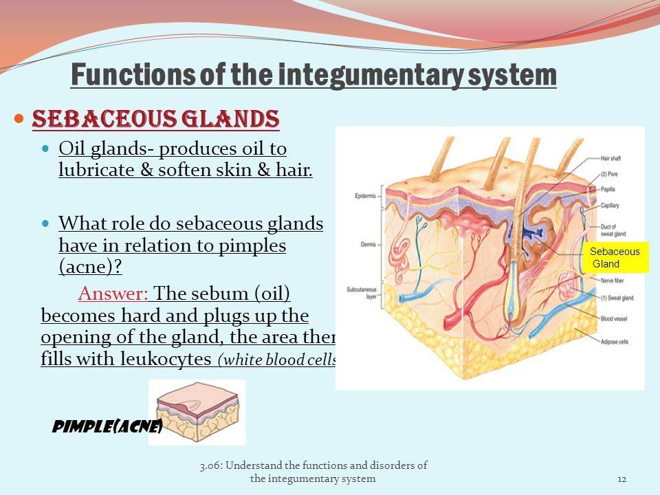 the integumentary system Describe two integumentary system mechanisms that help in regulating body temperature: 1 when capillary blood dlow to the skin and enhanced by nervous system controls, heat radiates from the skin surface restriction of blood flow conserves body heat.