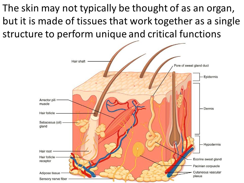 Integumentary System Integumentary System Consists Of The Ppt