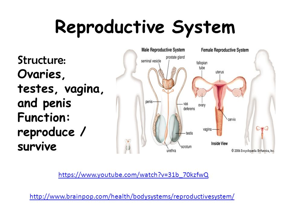 Reproductive System Structure: Ovaries, testes, vagina, and penis Function: reproduce / survive   v=31b_70kzfwQ.