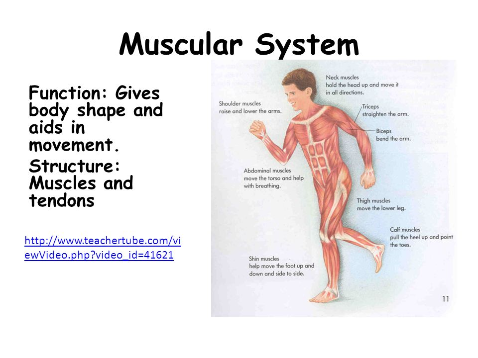 Muscular System Function: Gives body shape and aids in movement. Structure: Muscles and tendons