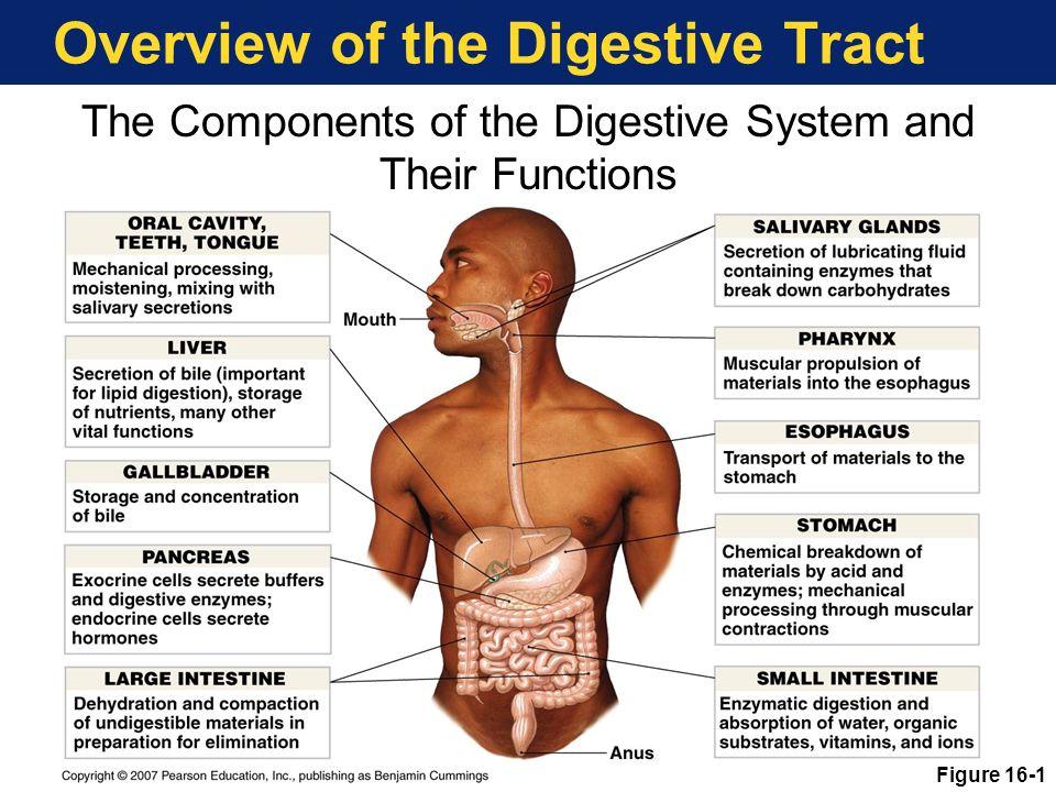 the function and mechanics of the digestive system essay Digestive system essaysthe digestive system is the the group of organs that changes food to carbohydrates, fats, and proteins and used by our body digestion takes places begins form our mouth and ends with our anus.