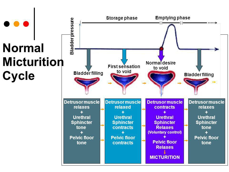 Normal Micturition Cycle