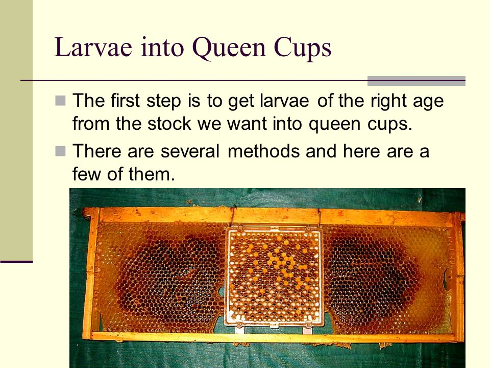 Larvae into Queen Cups The first step is to get larvae of the right age from the stock we want into queen cups.