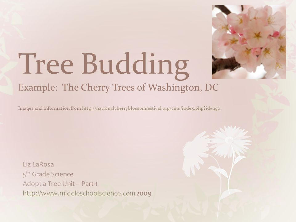 Tree Budding Example: The Cherry Trees of Washington, DC Images and information from   id=390
