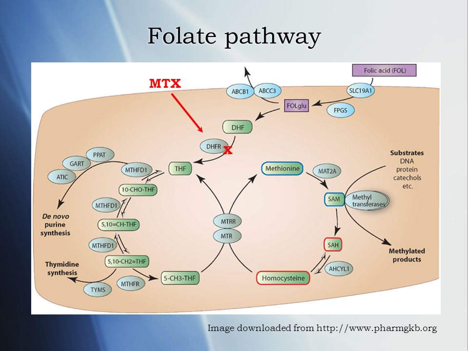 Folate pathway MTX X Image downloaded from http://www.pharmgkb.org