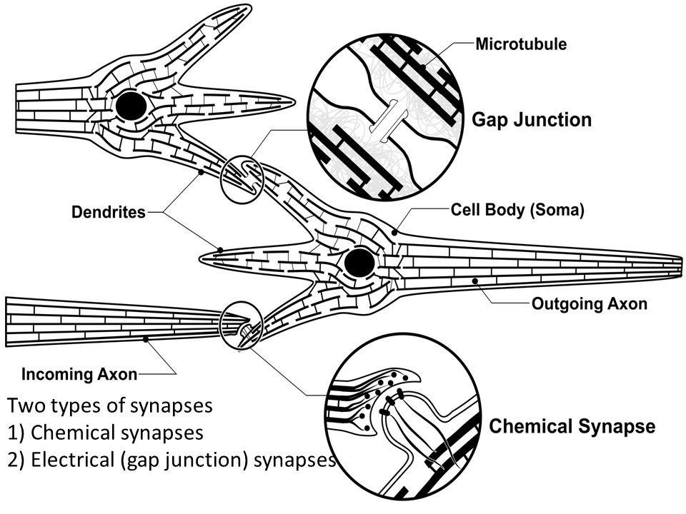 Two types of synapses 1) Chemical synapses 2) Electrical (gap junction) synapses