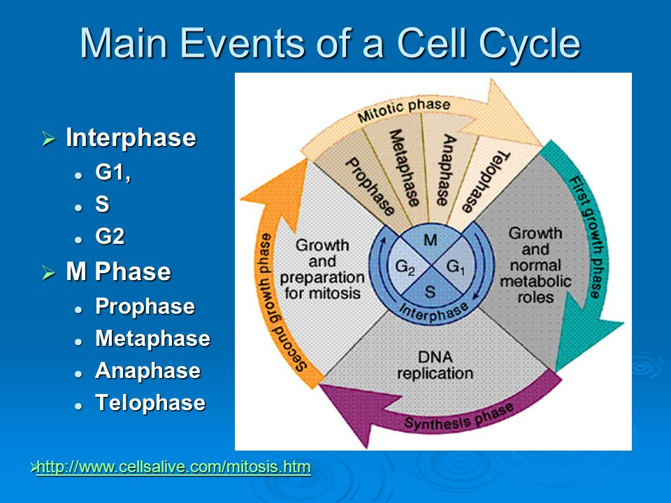 Main Events of a Cell Cycle