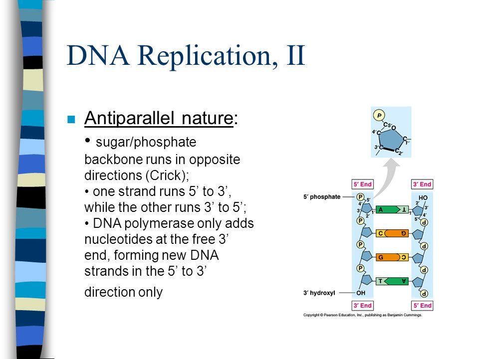 DNA Replication, II