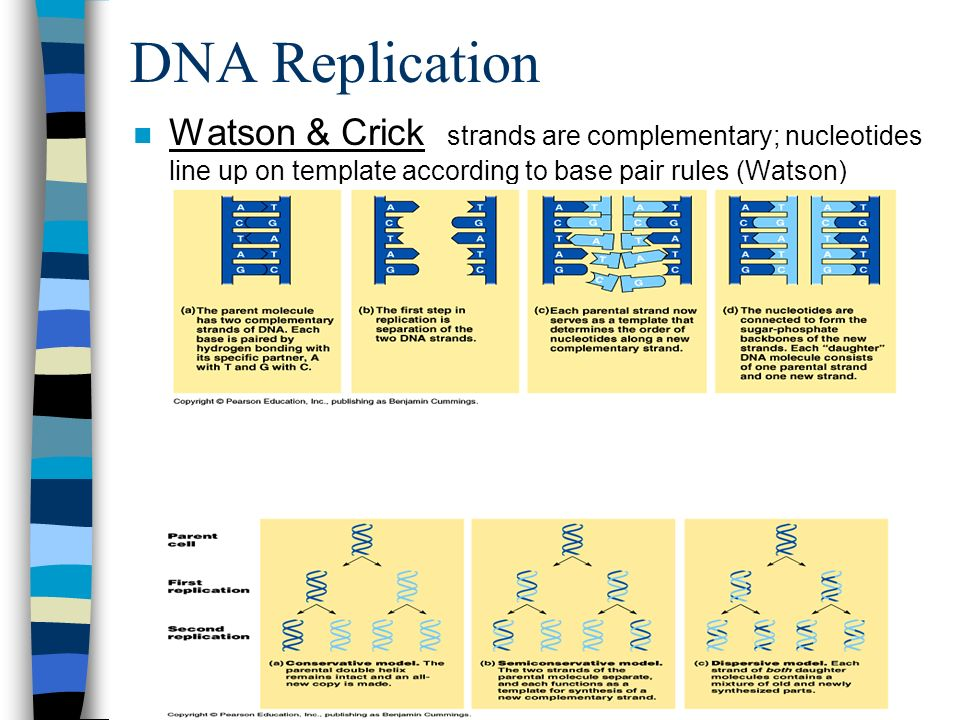 DNA Replication Watson & Crick strands are complementary; nucleotides line up on template according to base pair rules (Watson)