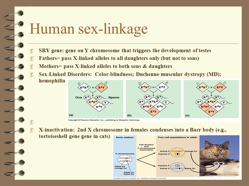 Human sex-linkage SRY gene: gene on Y chromosome that triggers the development of testes.