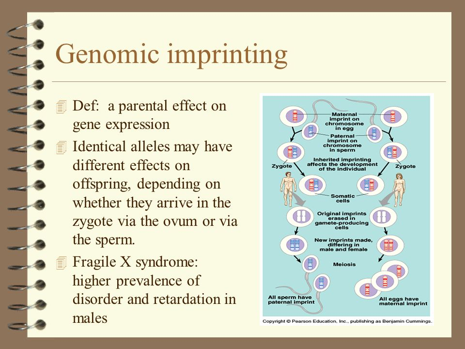 Genomic imprinting Def: a parental effect on gene expression