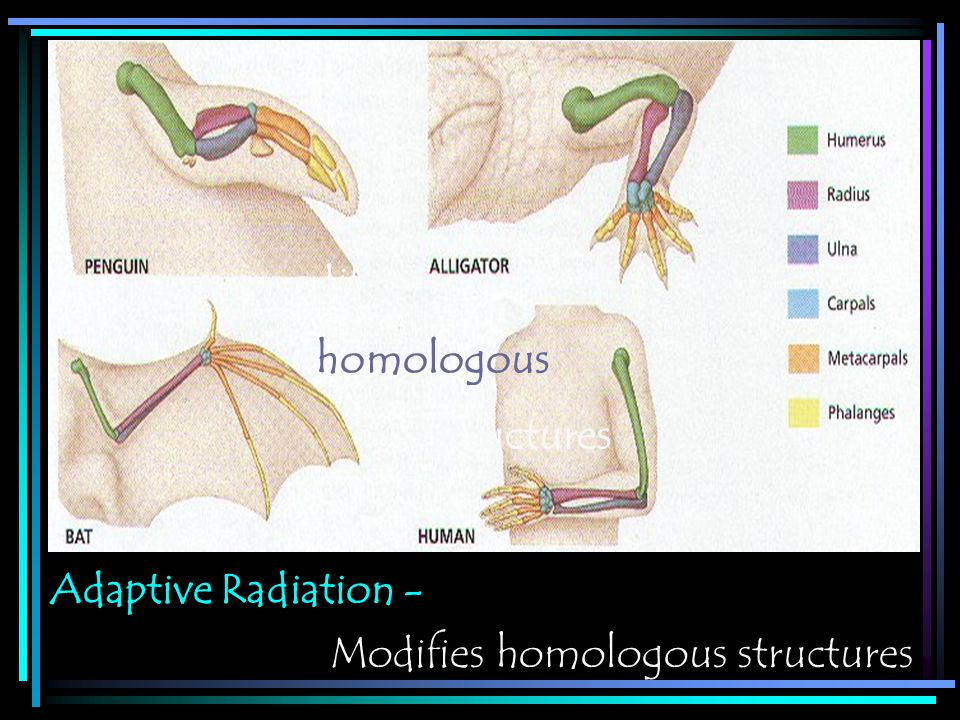 modifies homologous structures Adaptive Radiation - Modifies homologous structures