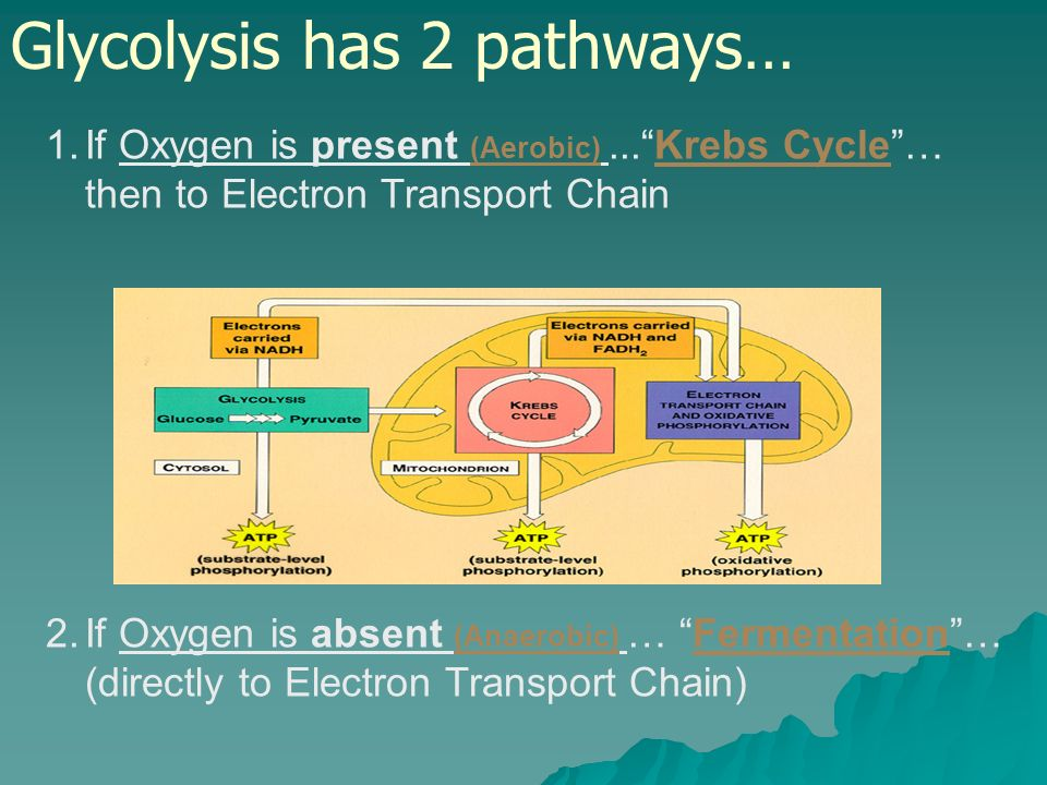 Glycolysis has 2 pathways…