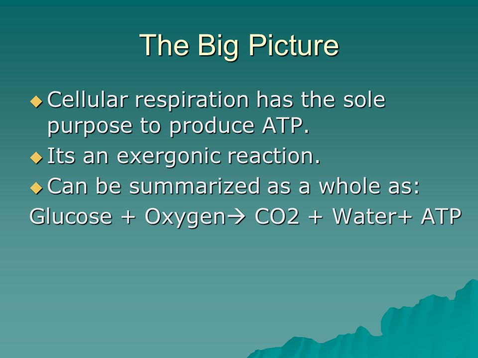 The Big Picture Cellular respiration has the sole purpose to produce ATP. Its an exergonic reaction.