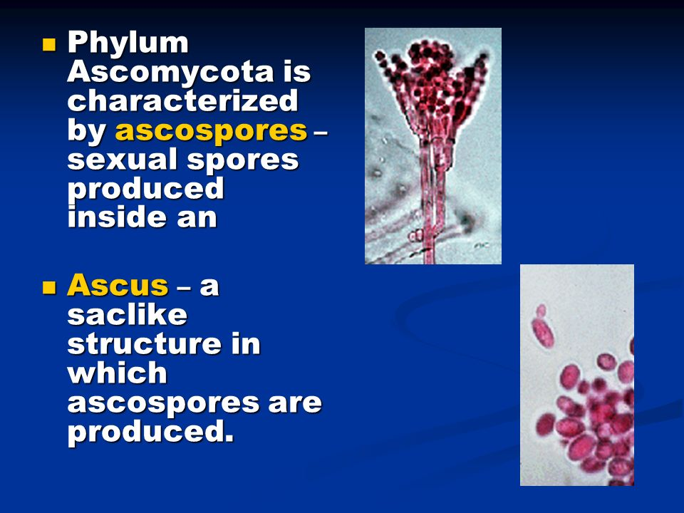 Phylum Ascomycota is characterized by ascospores – sexual spores produced inside an