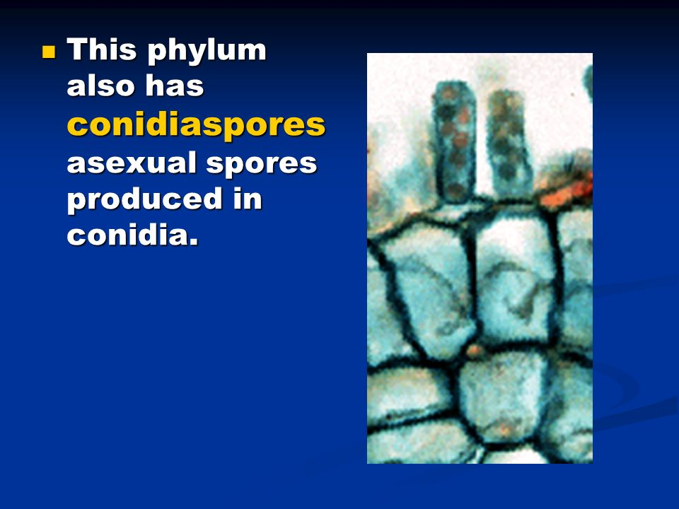 This phylum also has conidiaspores asexual spores produced in conidia.