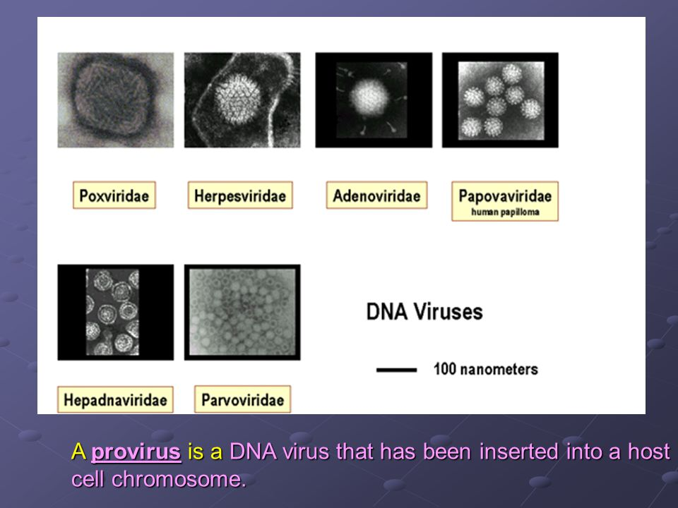A provirus is a DNA virus that has been inserted into a host cell chromosome.