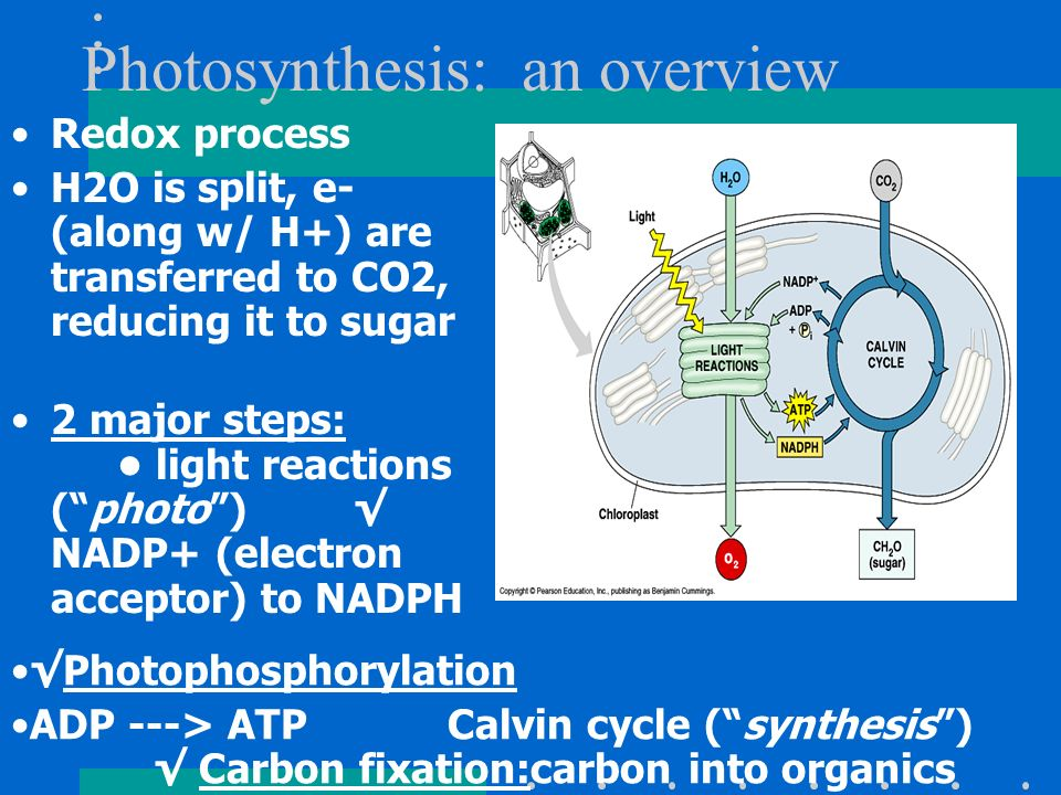 Photosynthesis: an overview