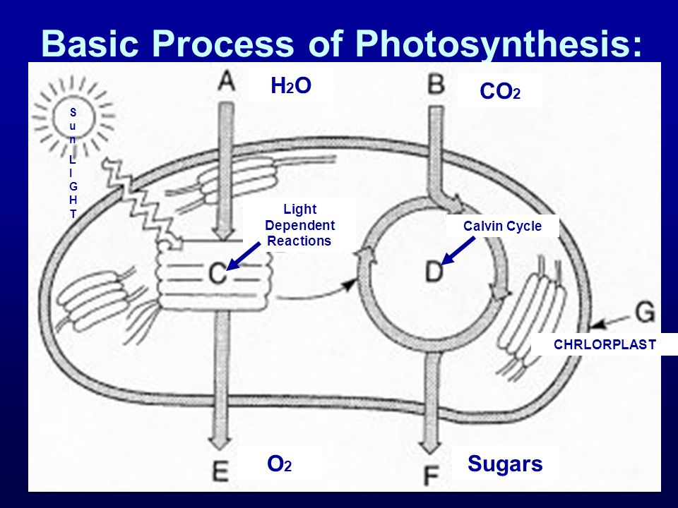 Basic Process of Photosynthesis: