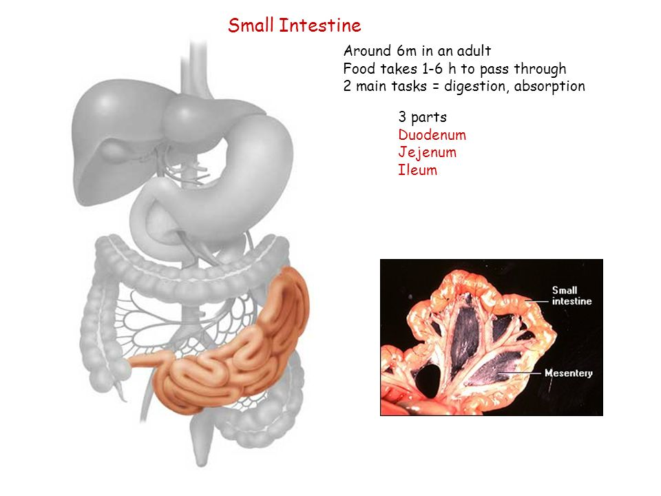 Small Intestine Around 6m in an adult Food takes 1-6 h to pass through