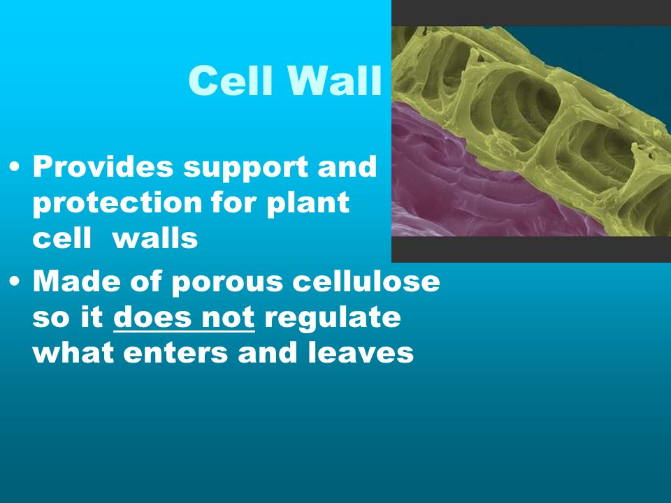 Cell Wall Provides support and protection for plant cell walls