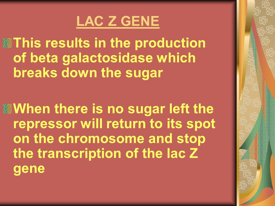 LAC Z GENE This results in the production of beta galactosidase which breaks down the sugar.