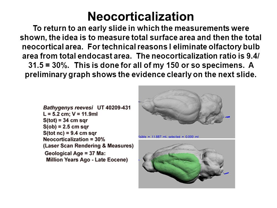 Neocorticalization To return to an early slide in which the measurements were shown, the idea is to measure total surface area and then the total neocortical area.