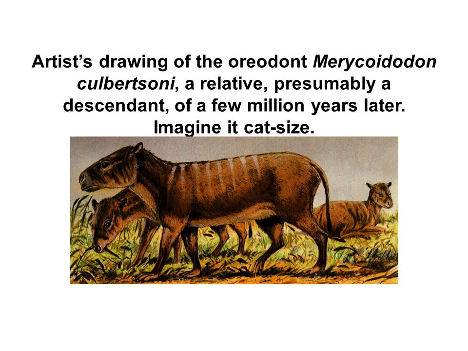 Artist's drawing of the oreodont Merycoidodon culbertsoni, a relative, presumably a descendant, of a few million years later.