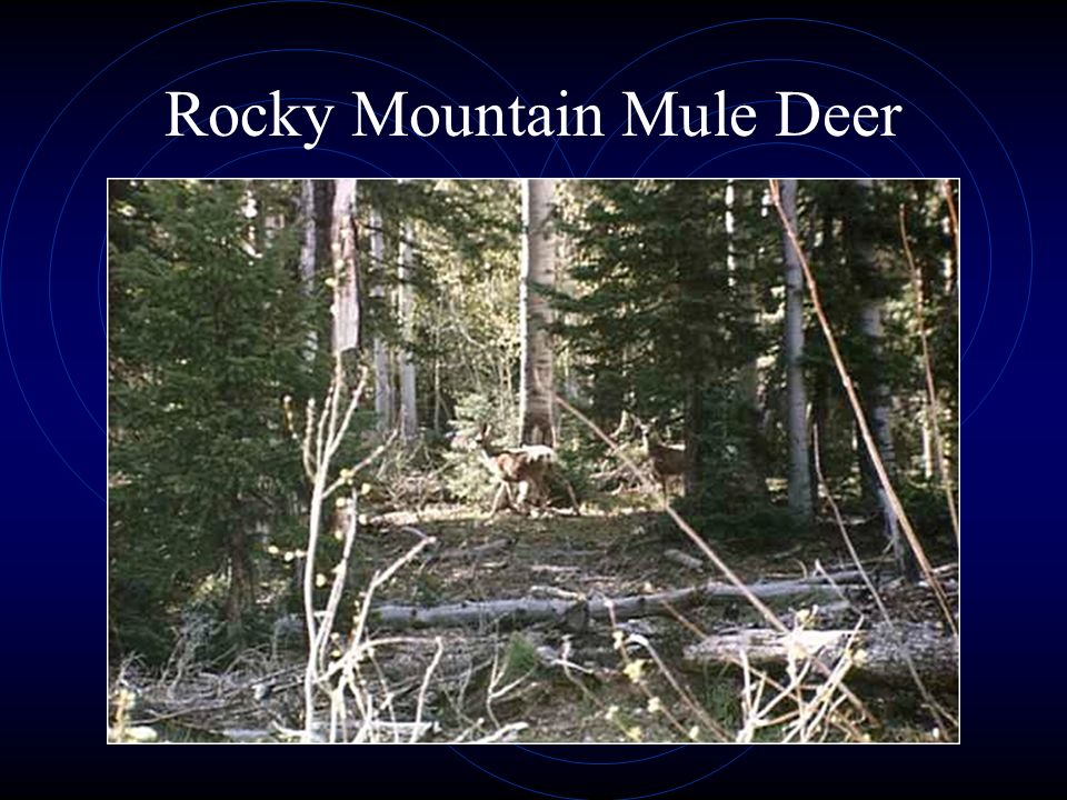 Rocky Mountain Mule Deer