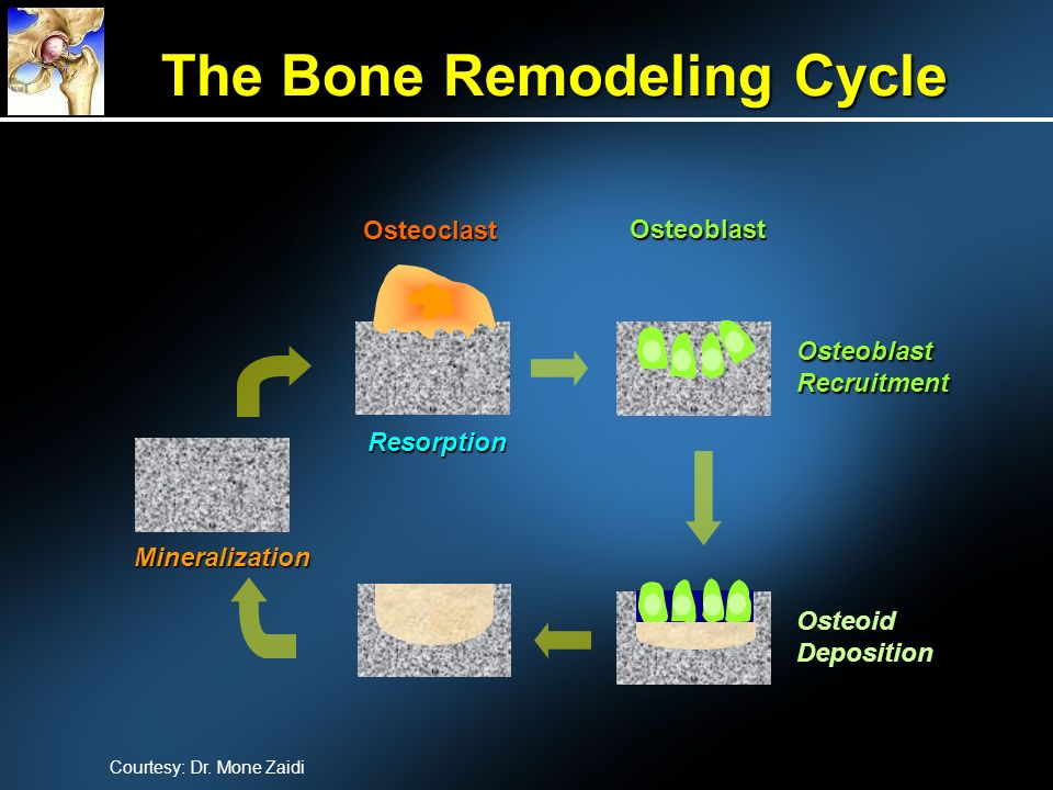 The Bone Remodeling Cycle
