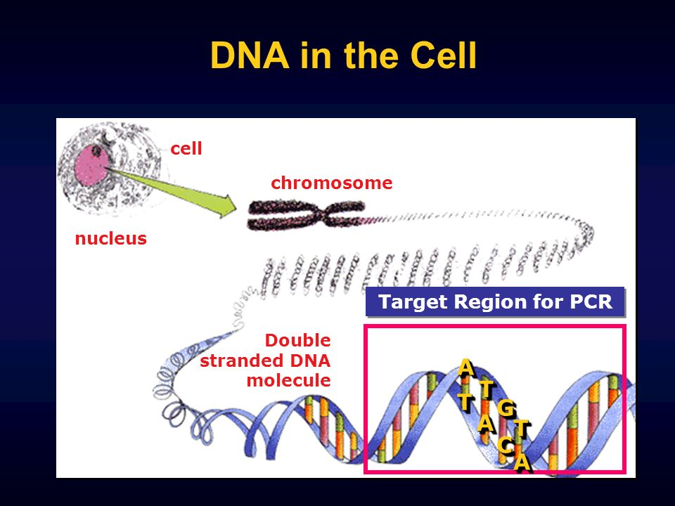 DNA in the Cell A T G C Target Region for PCR cell chromosome nucleus