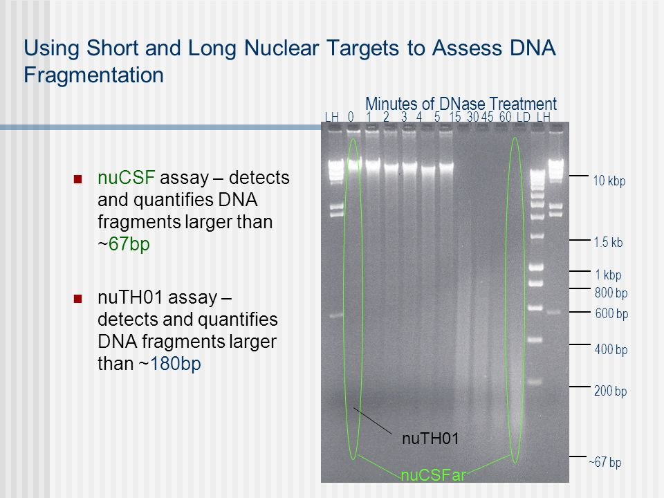 Using Short and Long Nuclear Targets to Assess DNA Fragmentation