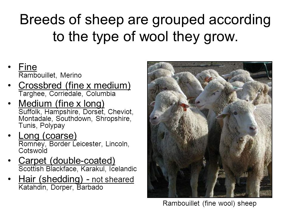 Breeds of sheep are grouped according to the type of wool they grow.
