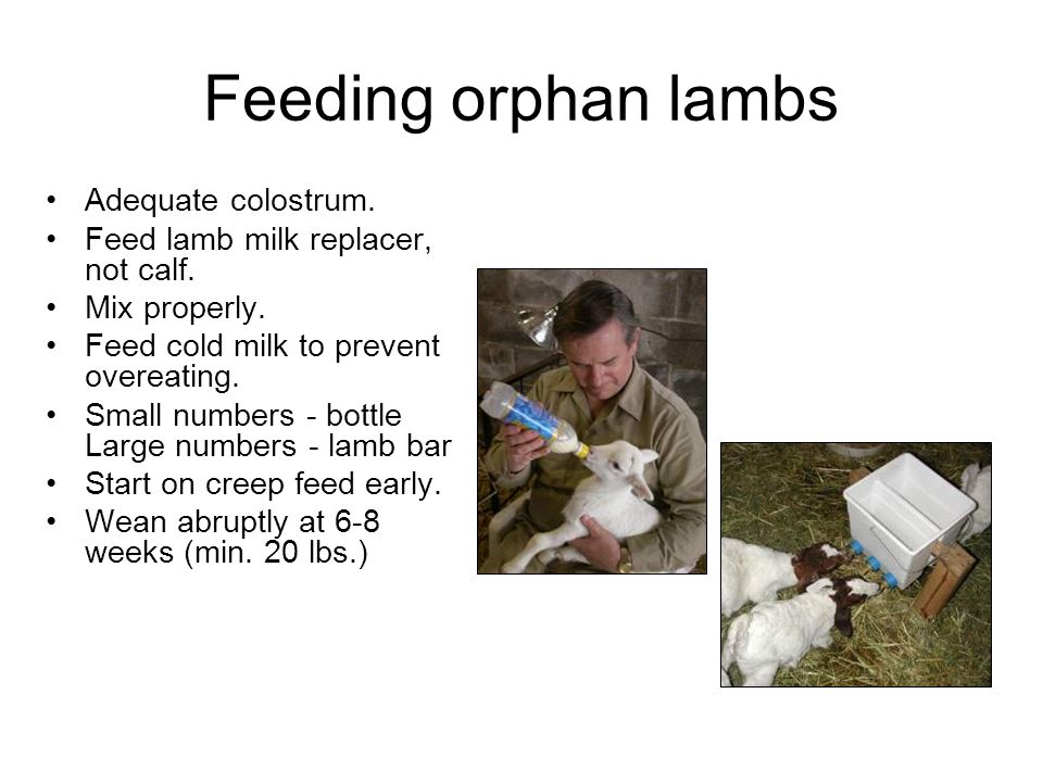 Feeding orphan lambs Adequate colostrum.