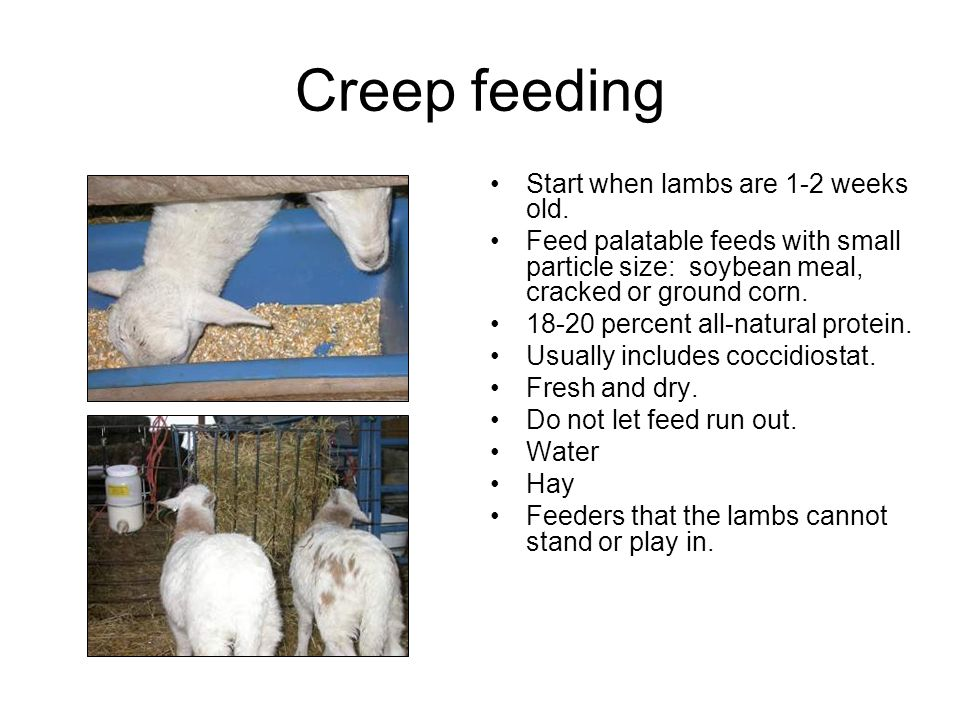 Creep feeding Start when lambs are 1-2 weeks old.