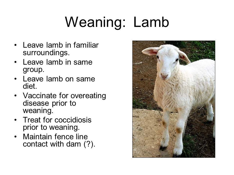 Weaning: Lamb Leave lamb in familiar surroundings.