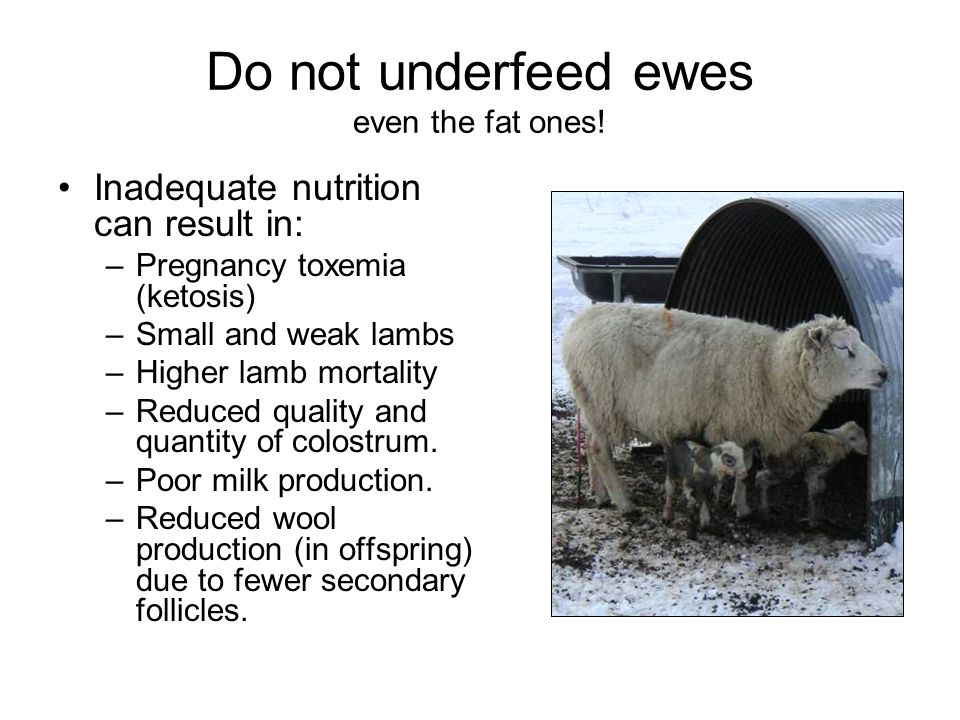 Do not underfeed ewes even the fat ones!