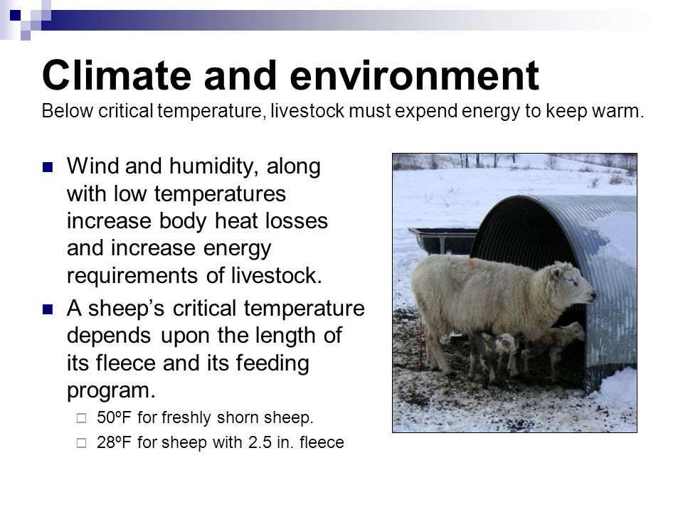 Climate and environment Below critical temperature, livestock must expend energy to keep warm.
