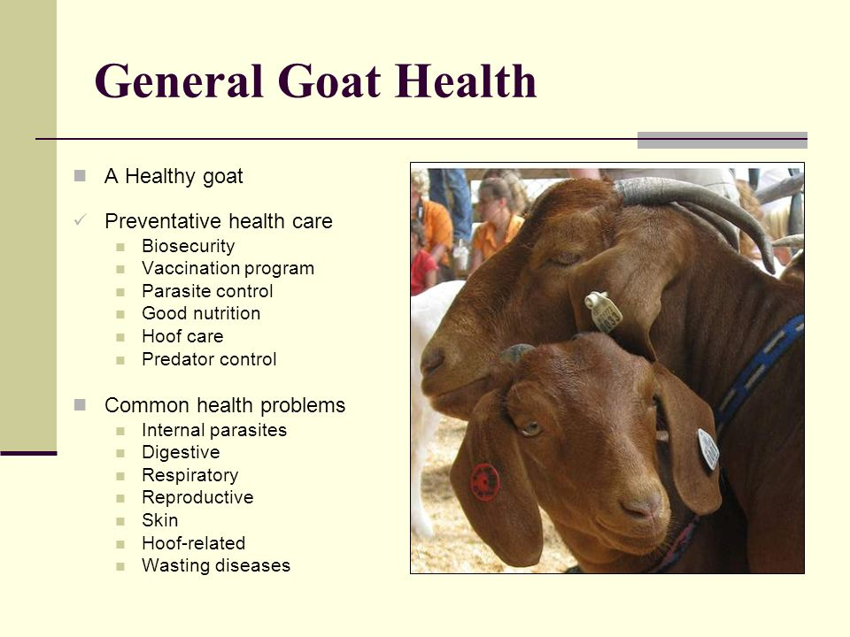 General Goat Health A Healthy goat Preventative health care
