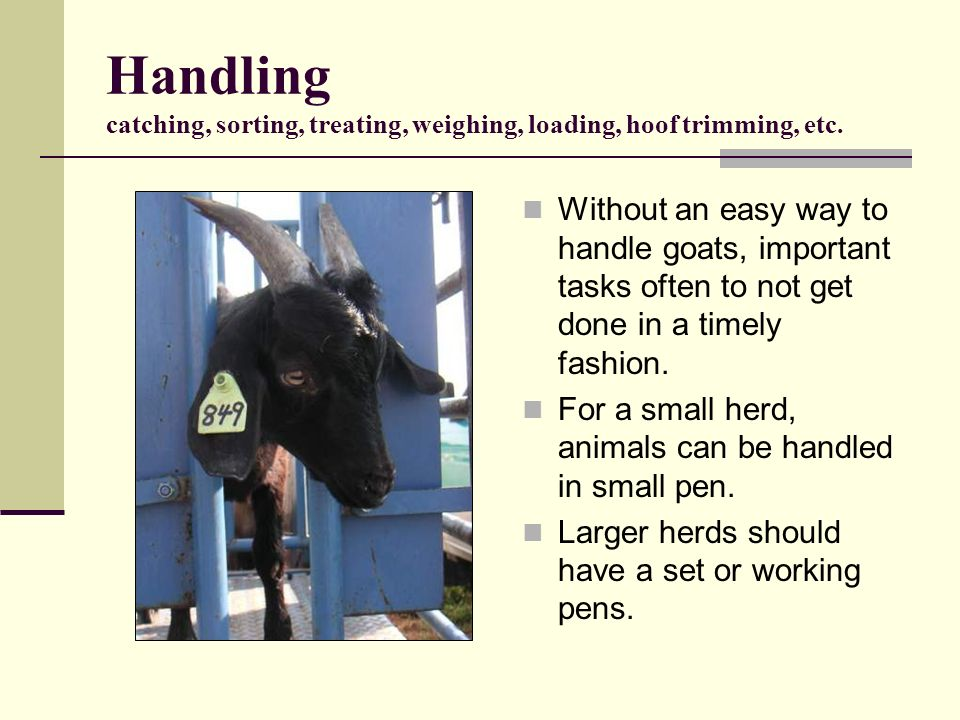 Handling catching, sorting, treating, weighing, loading, hoof trimming, etc.
