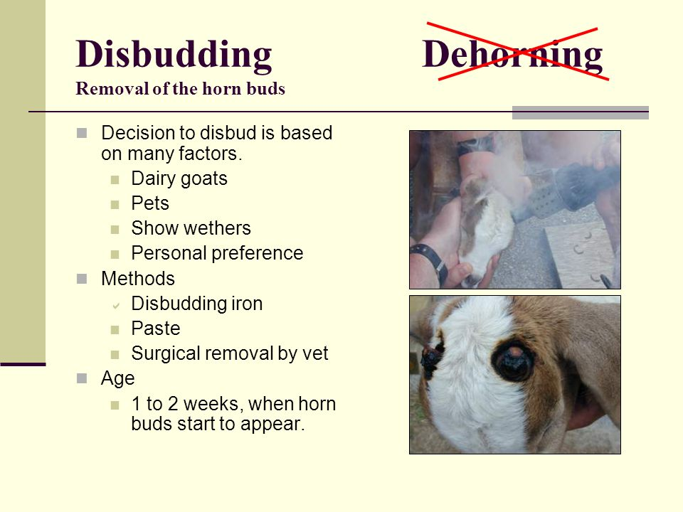Disbudding Dehorning Removal of the horn buds