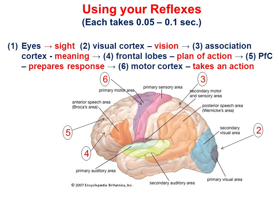 Using your Reflexes (Each takes 0.05 – 0.1 sec.) 6 3 2 5 4