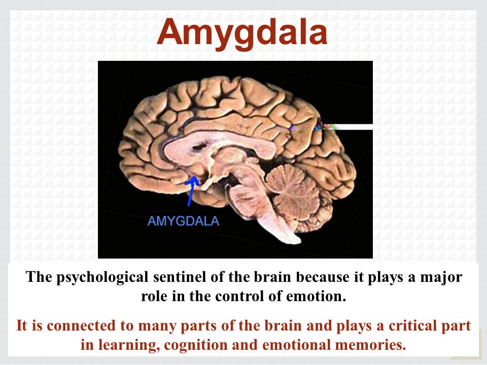 Amygdala The psychological sentinel of the brain because it plays a major role in the control of emotion.