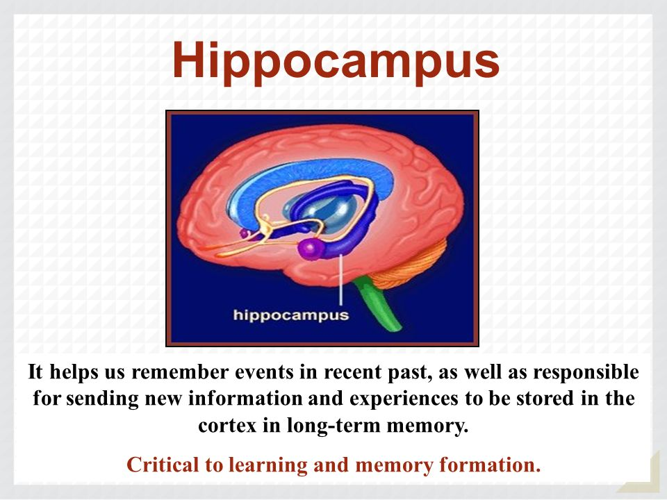 Critical to learning and memory formation.