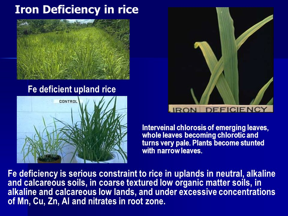 Efficient Management of Micronutrients in Rice - ppt video