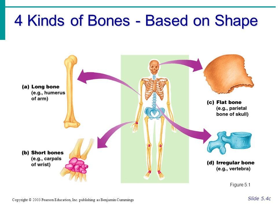 The Skeletal System Divided into two divisions - ppt download