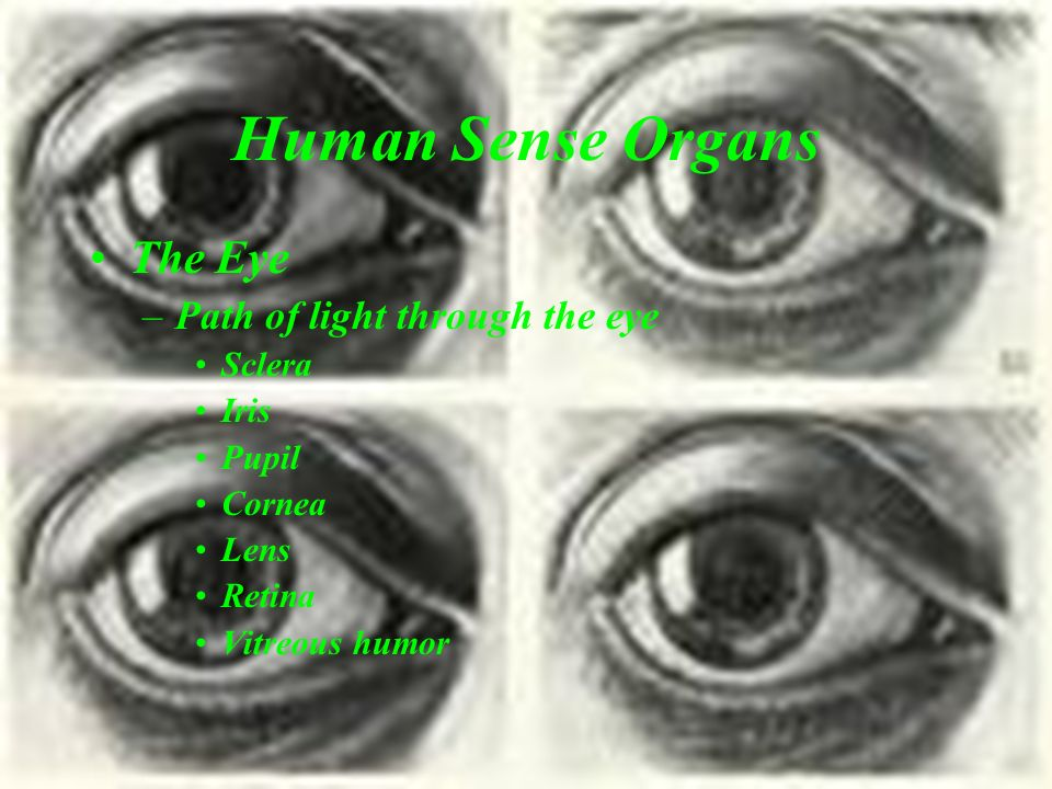 Human Sense Organs The Eye Path of light through the eye Sclera Iris